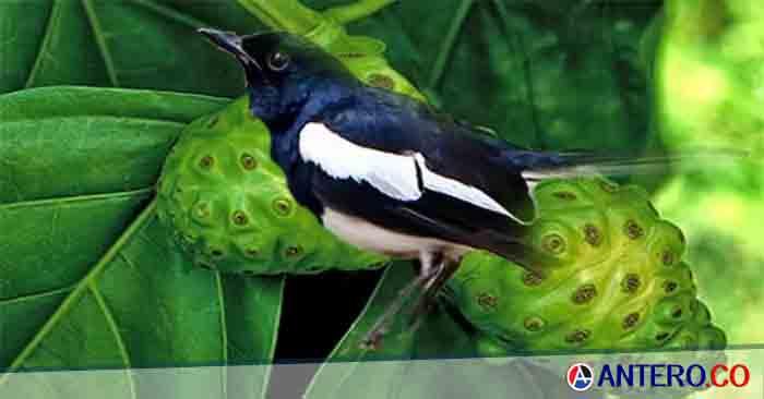 16 Manfaat Daun Mengkudu Untuk Burung Kicau serta 4 Cara Pemberiannya